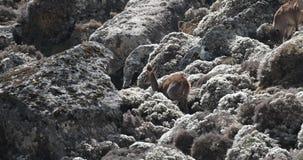 Familia del Nyala de montaña en Rocky Mountain almacen de metraje de vídeo