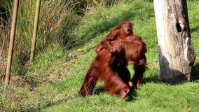 Familia del orangután de Bornean almacen de video