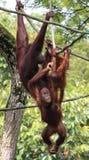 Familia del orangután en el parque zoológico de Singapur Fotos de archivo