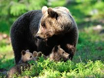 Familia del oso de Brown Imagen de archivo libre de regalías