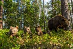 Familia del oso de Brown en bosque finlandés Imagen de archivo libre de regalías