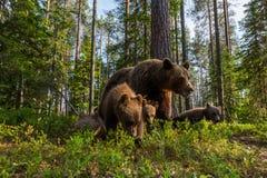Familia del oso de Brown en bosque finlandés Fotografía de archivo