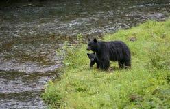 Familia del oso negro Imagen de archivo libre de regalías