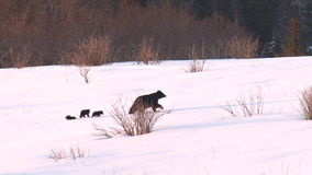 Familia del oso que se mueve a través de nieve metrajes
