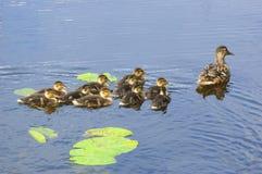 Familia del pato Imagen de archivo