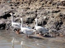 Familia del pato Foto de archivo libre de regalías
