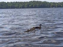 Familia del pato Fotografía de archivo libre de regalías
