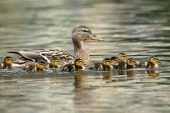 Familia del pato con los polluelos del pato Imágenes de archivo libres de regalías