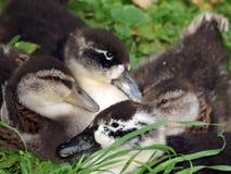 Familia del pato de la charca Fotografía de archivo libre de regalías
