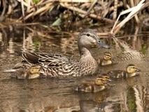 Familia del pato de Malard Fotografía de archivo libre de regalías