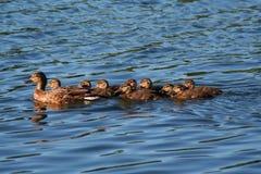 Familia del pato del pato silvestre imagen de archivo
