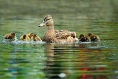 Familia del pato del pato silvestre fotografía de archivo libre de regalías