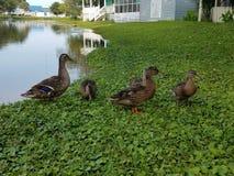 Familia del pato del pato silvestre Fotografía de archivo