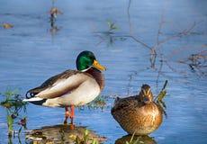 Familia del pato silvestre Fotografía de archivo libre de regalías