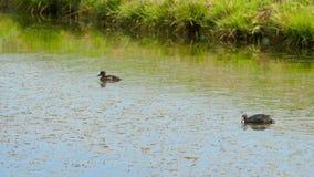 Familia del pato del pato silvestre del ataque de la focha almacen de metraje de vídeo