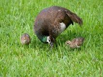 Familia del pavo real Imagen de archivo libre de regalías