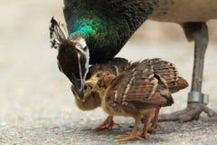 Familia del Peafowl Imagenes de archivo