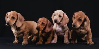 Familia del perro basset Fotos de archivo libres de regalías