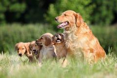 Familia del perro perdiguero de oro Foto de archivo libre de regalías