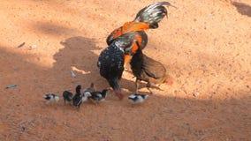 Familia del pollo almacen de metraje de vídeo