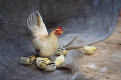 Familia del pollo Imagen de archivo libre de regalías