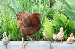 Familia del pollo encendido Imagenes de archivo