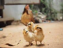 Familia del pollo, polluelos, gallina, lado del país, Tailandia Fotografía de archivo