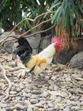 Familia del pollo, polluelos, gallina, lado del país, Tailandia Imagen de archivo