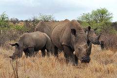 Familia del rinoceronte en el parque nacional de Kruger Foto de archivo libre de regalías