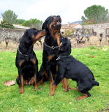 familia del rottweiler Imagen de archivo
