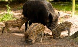 Familia del verraco salvaje Imagen de archivo libre de regalías