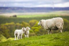 Familia en el prado - ovejas escocesas Fotos de archivo libres de regalías