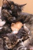 Familia felina Imagen de archivo libre de regalías