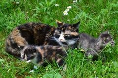 Familia felina en la hierba Fotos de archivo libres de regalías