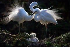 Familia feliz de egrets Foto de archivo libre de regalías