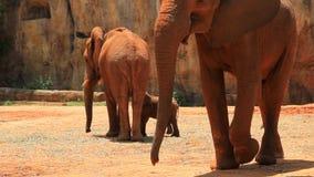 Familia feliz del elefante de África almacen de video
