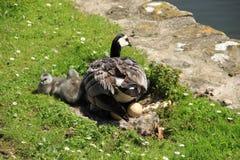 Familia feliz, gansos de lapa a lo largo de la charca en Inglaterra en el verano imágenes de archivo libres de regalías
