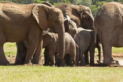 Familia grande de elefantes que se colocan en un agujero de agua Imagenes de archivo