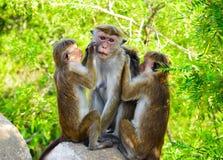 Familia hermosa del mono de Sri Lanka foto de archivo