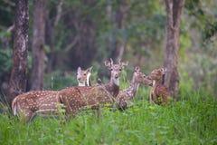 Familia manchada de los ciervos Fotos de archivo libres de regalías