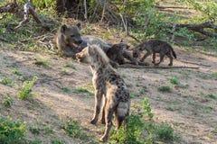 Familia manchada en el parque nacional de Kruger, Suráfrica de la hiena Foto de archivo