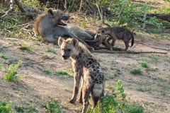 Familia manchada en el parque nacional de Kruger, Suráfrica de la hiena Imagen de archivo
