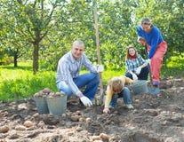 Familia que cosecha las patatas en jardín fotos de archivo