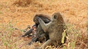 Familia que prepara, Nakuru Park del babuino metrajes