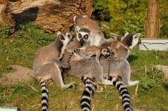 Familia Ring-tailed de los lemurâs en un parque zoológico Fotografía de archivo libre de regalías