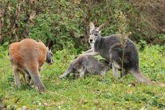Familia roja del canguro Fotografía de archivo libre de regalías