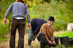 Familia rural que cosecha ciruelos Foto de archivo libre de regalías