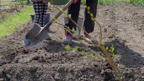 Familia rural que planta las patatas en el jardín almacen de metraje de vídeo