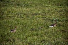 Familia salvaje de los gansos Foto de archivo libre de regalías