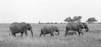 Familia salvaje del elefante Fotografía de archivo